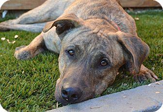Dutch Shepherd/Boxer Mix Dog for adoption in Los Angeles, California - Tara