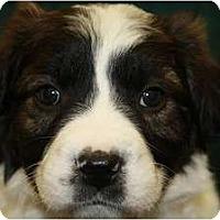 Adopt A Pet :: Litterbug - Broomfield, CO