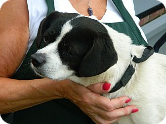 Boston Terrier/Toy Fox Terrier Mix Dog for adoption in Cincinnati, Ohio - Chessie: Red Bank Vet