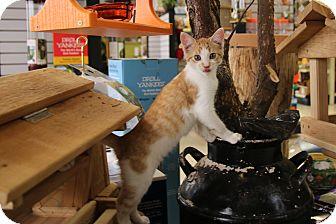 Domestic Shorthair Kitten for adoption in Rochester, Minnesota - Revlon