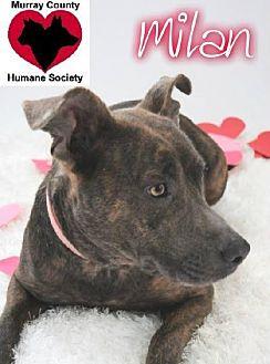 Boxer/Pit Bull Terrier Mix Dog for adoption in Crandall, Georgia - Milan