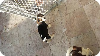 Beagle Puppy for adoption in Algonquin, Illinois - Chevy