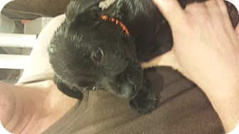 Labrador Retriever Mix Puppy for adoption in Mantua, New Jersey - Sweet Pea