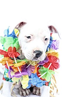 American Bulldog/American Staffordshire Terrier Mix Puppy for adoption in West Allis, Wisconsin - LeiLani Kai