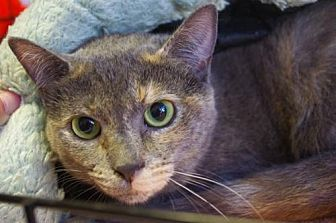 Domestic Shorthair Cat for adoption in Longview, Washington - Janet