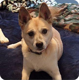 Shiba Inu/Basenji Mix Dog for adoption in Washington, D.C. - Roxie