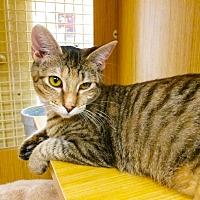 Adopt A Pet :: Pipper - Arlington/Ft Worth, TX