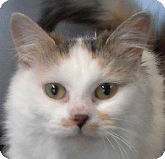 Calico Kitten for adoption in Maquoketa, Iowa - Beauty