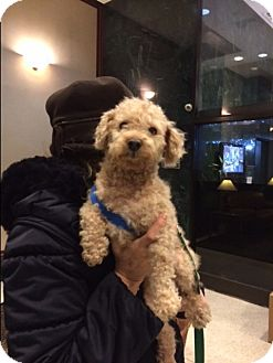 Toy Poodle Mix Dog for adoption in Long Beach, New York - Dooney