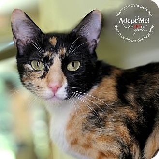 Domestic Shorthair Cat for adoption in Lyons, New York - Daisey