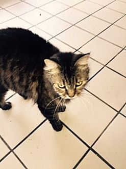 Maine Coon Cat for adoption in PT ORANGE, Florida - BOOTSIE