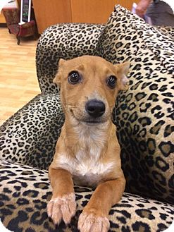 Dachshund Mix Puppy for adoption in Valencia, California - Lily