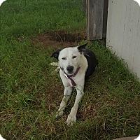 Border Collie Mix Dog for adoption in Eustace, Texas - Valentina