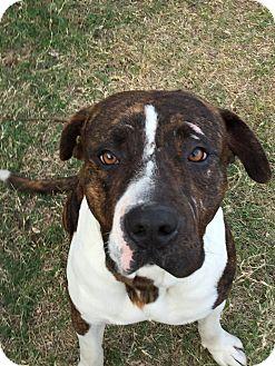 American Bulldog/Mastiff Mix Dog for adoption in Phoenix, Arizona - Buddy