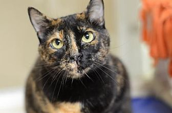 Domestic Shorthair Cat for adoption in Atlanta, Georgia - Izzy170141