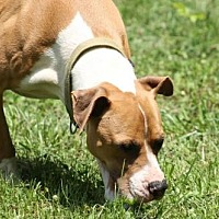 American Staffordshire Terrier/Hound (Unknown Type) Mix Dog for adoption in Chatham, Virginia - Peter Vanderbuilt