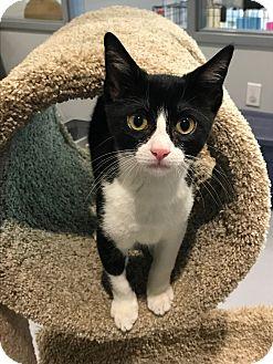 Domestic Shorthair Kitten for adoption in Lafayette, New Jersey - Lorenzo
