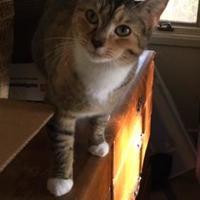 Adopt A Pet :: Girlie - Tryon, NC