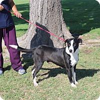 Adopt A Pet :: A35 Roxy - Odessa, TX