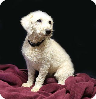 Poodle (Miniature)/Bichon Frise Mix Dog for adoption in Newtown, Connecticut - Bennet