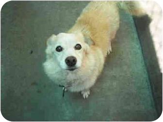 American Eskimo Dog/Pembroke Welsh Corgi Mix Dog for adoption in Lomita, California - Tigger
