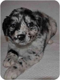 Australian Shepherd Mix Puppy for adoption in Upper Marlboro, Maryland - Cherry
