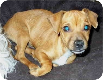 Chihuahua Mix Dog for adoption in Sacramento, California - Jagger!