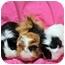 Photo 3 - Guinea Pig for adoption in Durham, North Carolina - Julius, Claudius & Nero