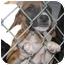 Photo 3 - Boston Terrier Mix Puppy for adoption in Inman, South Carolina - Alphie