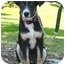 Photo 1 - Border Collie/Shepherd (Unknown Type) Mix Puppy for adoption in Los Angeles, California - Lola von Amilia
