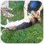 Photo 2 - Basset Hound Dog for adoption in Shelbyville, Kentucky - Flash