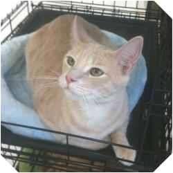Domestic Shorthair Cat for adoption in Sugar Land, Texas - -Romeo