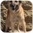 Photo 3 - Belgian Tervuren/Belgian Malinois Mix Dog for adoption in Gilbert, Arizona - Timber