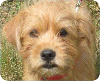 Schnauzer (Miniature)/Terrier (Unknown Type, Small) Mix Puppy for adoption in Parsons, Tennessee - ROBIE