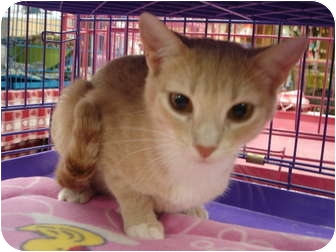 Domestic Shorthair Cat for adoption in Chesapeake, Virginia - Nesme & Esme