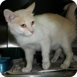 Domestic Shorthair Cat for adoption in North Wilkesboro, North Carolina - Buttercup