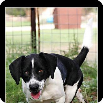 Basset Hound/Border Collie Mix Dog for adoption in Comanche, Texas - Hoss