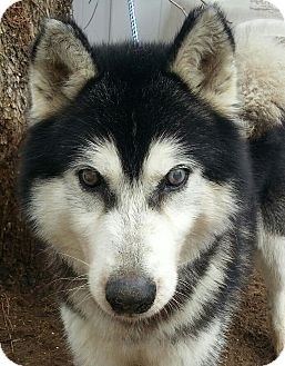 Husky Dog for adoption in Apple valley, California - Magoo