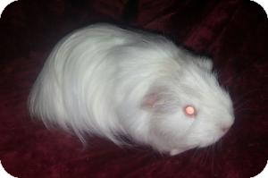 Guinea Pig for adoption in Pittsburgh, Pennsylvania - Willow