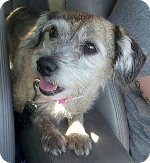"Terrier (Unknown Type, Small)/Norfolk Terrier Mix Dog for adoption in Seattle, Washington - ""Ellie"""
