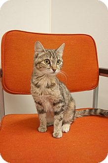 Domestic Shorthair Cat for adoption in Martinsville, Indiana - Mia Sofia