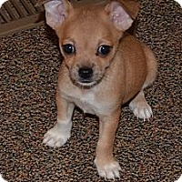 Adopt A Pet :: Snickers - Westfield, IN