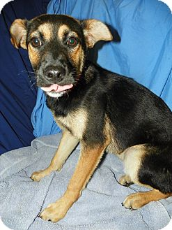 Shepherd (Unknown Type) Mix Puppy for adoption in Waldorf, Maryland - Octavia