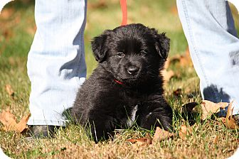 Australian Shepherd/Labrador Retriever Mix Puppy for adoption in West Milford, New Jersey - FIN-pending
