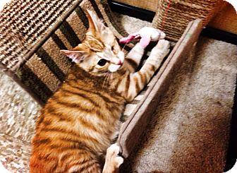 Domestic Shorthair Kitten for adoption in Chesterfield Township, Michigan - Samuel