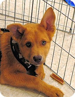 Shepherd (Unknown Type) Mix Puppy for adoption in Shelter Island, New York - Ruff