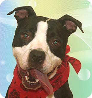 Staffordshire Bull Terrier Mix Dog for adoption in Cincinnati, Ohio - Daly
