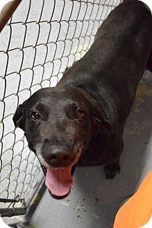Labrador Retriever Dog for adoption in Lebanon, Missouri - Jasper