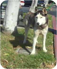 Siberian Husky Dog for adoption in Southern California, California - Lily