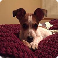 Adopt A Pet :: Pippin - West Richland, WA